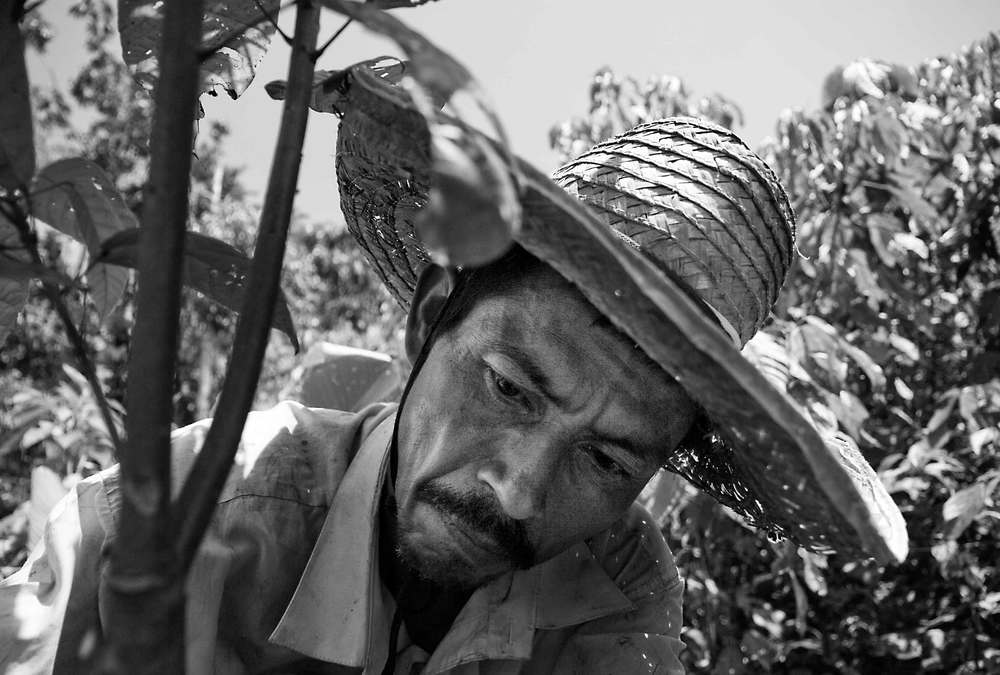 Providencia, Ecuador. 2010          A Colombian refugee peasant grows cacao as a part of a UNHCR project to provide border communities with livelihood options. Livelihoods in these communities were devastated by Colombia's coca eradication campaign through defoliant fumigation.