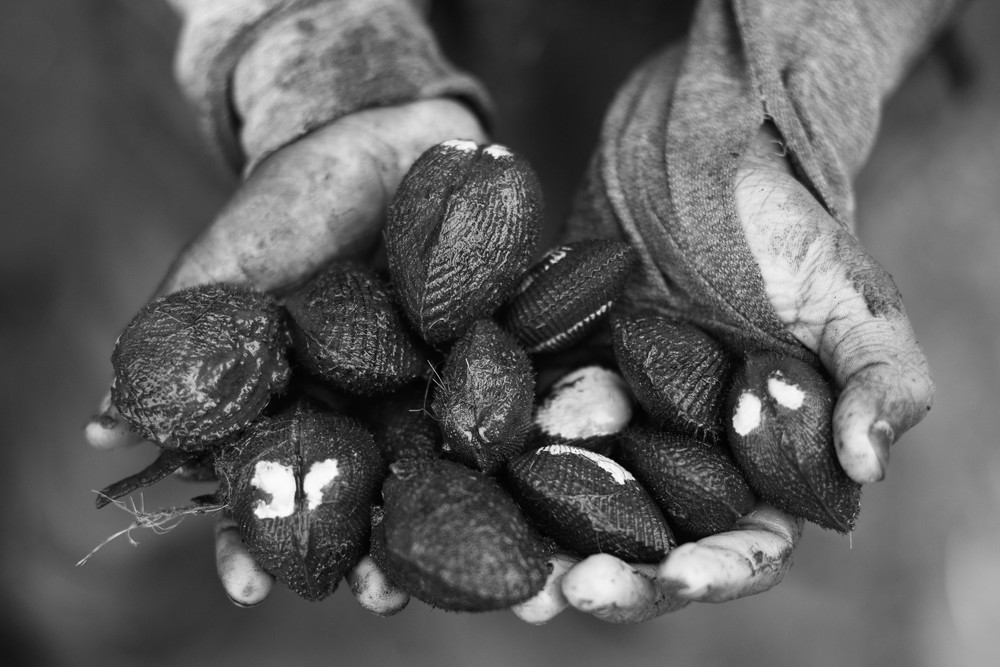 Even though black shells are a culinary delicacy in Ecuador, shell pickers are only paid 8 cents of a dollar per shell. On average, pickers will find between 50 and 100 shells in a day´s work. 2013.
