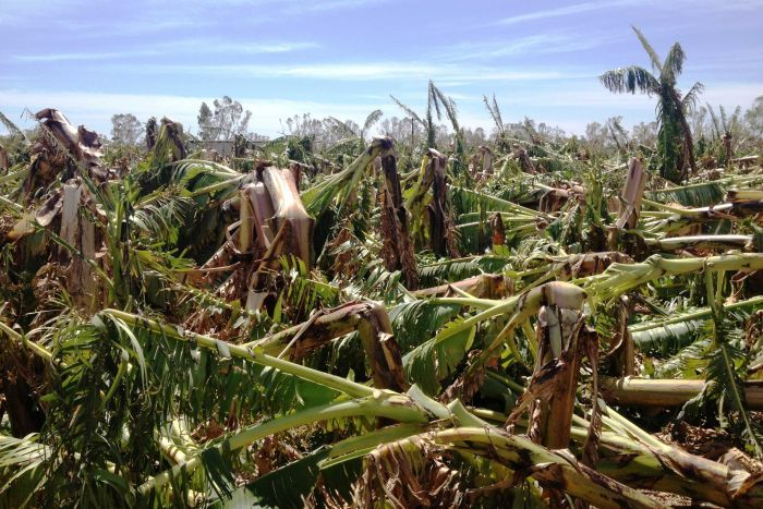 Tropical Cyclone Olwyn has decimated many banana plantations in Carnarvon, WA (Picture: ABC News, Doriana Mangili)