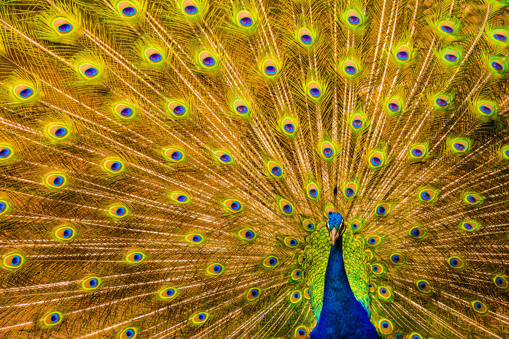 Peacock at Silver Falls Ranch, Kauai