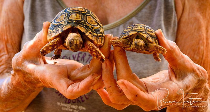 These baby African tortoises will grow to be the protectors of a grove of endemic trees being reintroduced to Kaua'i's forests. I met these little guys at a facility operated by the National Tropical Botanical Gardens.