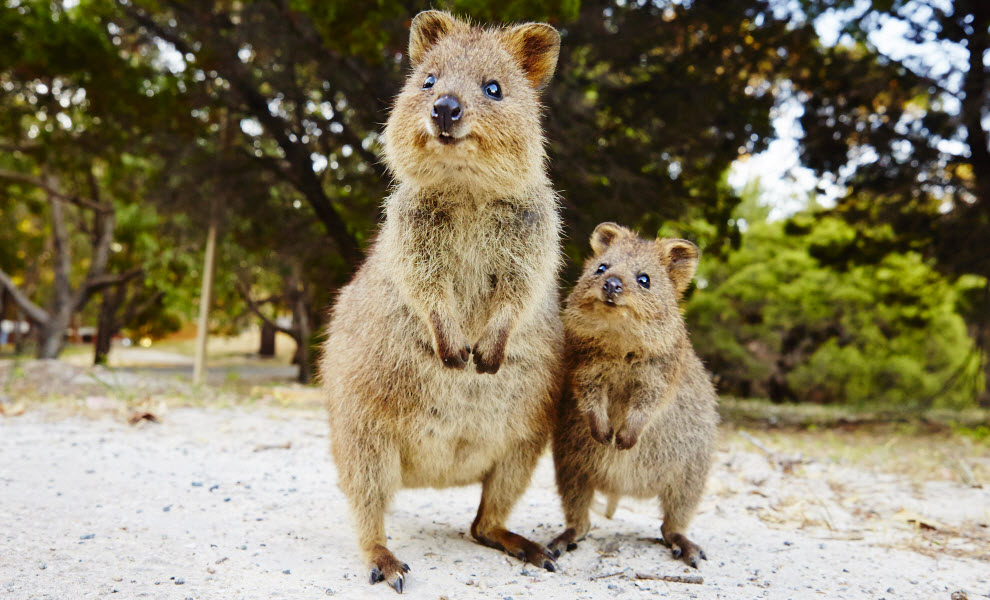 animal-encounters-quokkas-UniBRIDGE.jpg