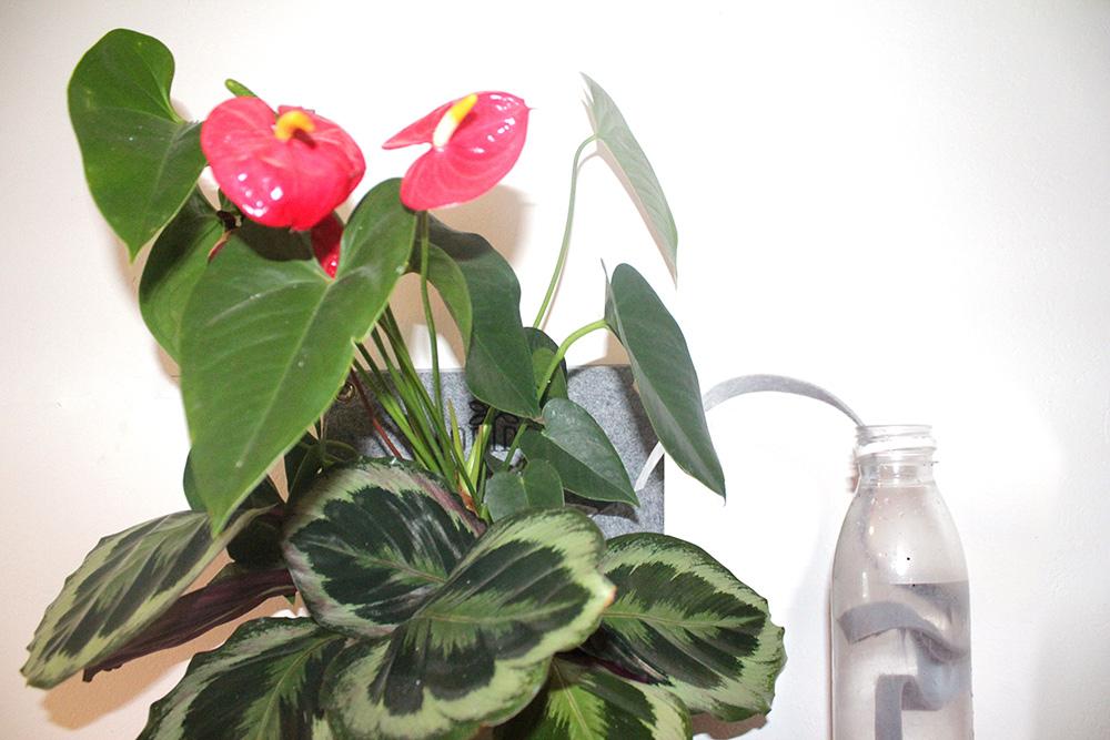 Kapilarno namakanje sobnih rastlin v žepkih preko traku iz filca namočenega v plastenki vode.