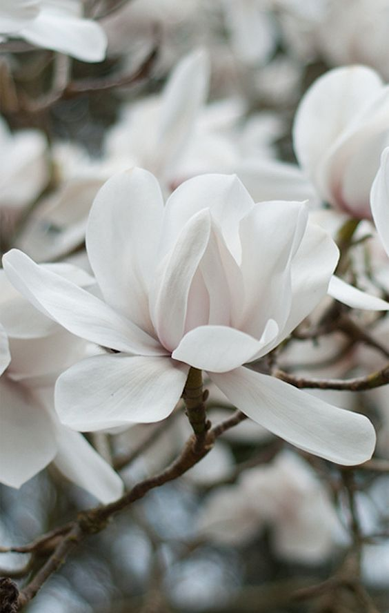 glorious white magnolia