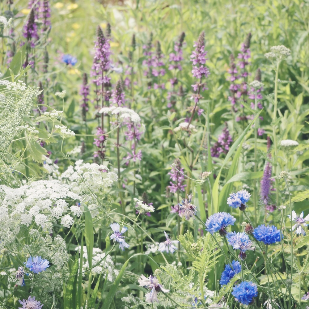 The gentle chaos of meadow planting