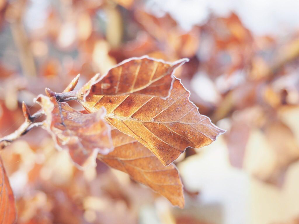 frosted copper beech