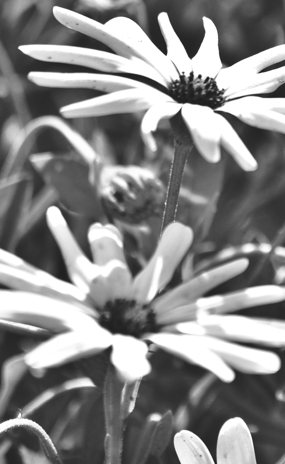 Black and white daisy.jpeg