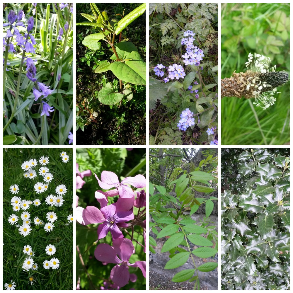 some species on hawthornvale path 26.5.15.jpg