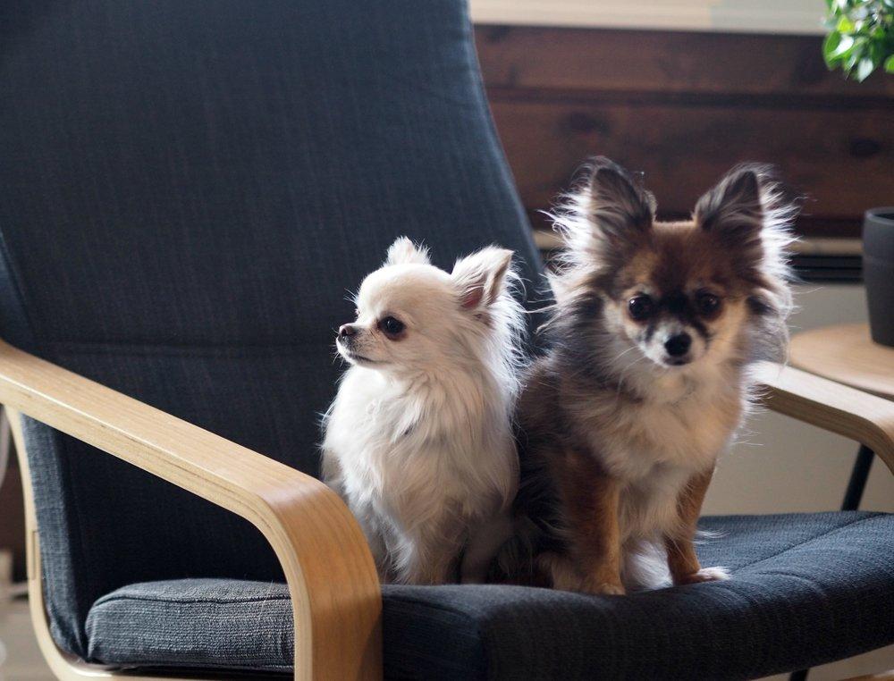 Chihuahua brun og hvit