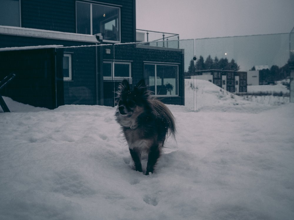 snølandskap, chihuahua