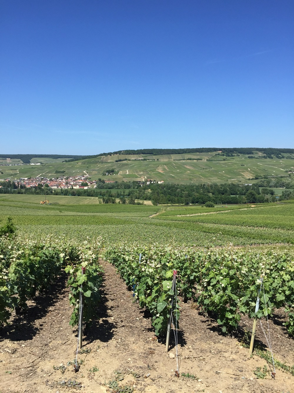 Tarlant's vines with the Rive Droit in the distance.