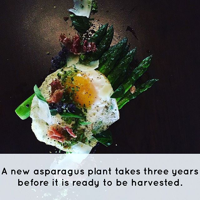 From the team @bocaresort @kevin_ives Did know that #asparagus is one of the most powerful aphrodisiacs? That is because of it production of vitamin E. It's use has been written about since the first century and the Romans used to freeze it in the alps. The #plant takes about three years before it is ready to be harvested. The largest exporter of #asparagus is #Peru with more than 375K tons but that doesn't come close to what #China produces...more than 7.5 million tons each year. The cool part is you can find #asparagus growing in the wild in some parts and its #fruit (a small red berry) is actually #poisonous to humans.  #vegan #vegetable #chef #cook #foodie #foodporn #recipe #vegetarian #plant #eatclean #fit #healthy #facts #history #farming #farmtotable #menumore #photooftheday #summer #bbq