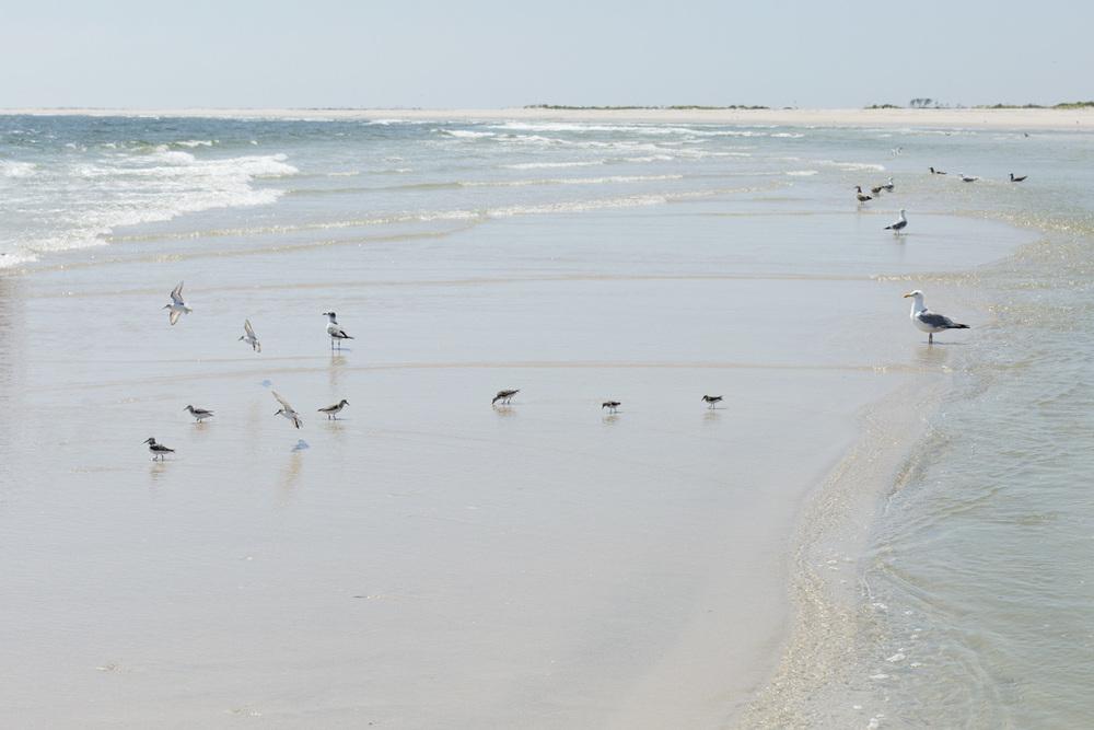 sandpipers & gulls | lbi, 2015