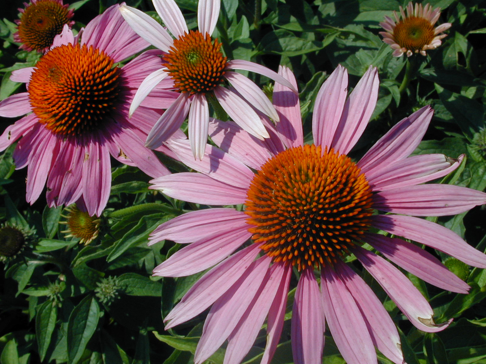 Echinacea purpurea (Purple Coneflower) is a native to eastern North America. However, as was pointed out at the recent Ecological Landscaping Association's conference in Springfield, MA, many of the plants we call Native today were new to this continent at one point--say 10,000 years ago, for example.