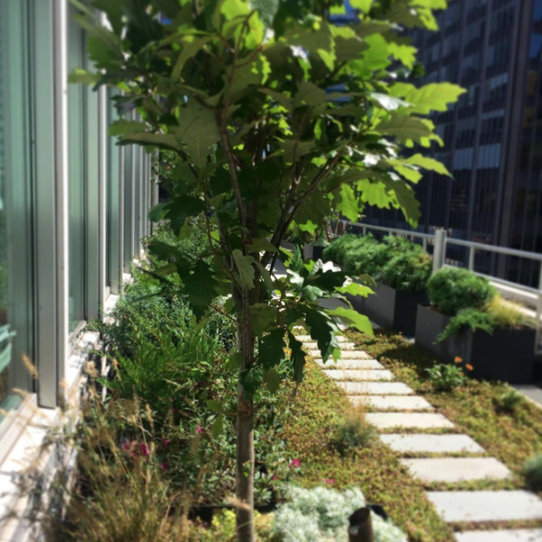 An Oak Tree Frames The View Of A Green Roof Set With New York Bluestone  Pavers