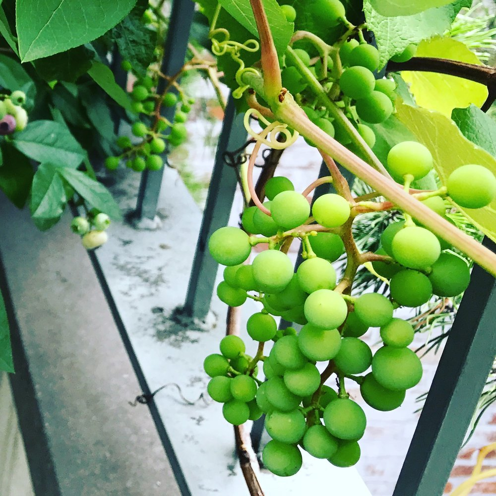 Grapes don't have to overwhelm your garden; a lattice fence or even a parapet railing can support them in a sunny spot adequately sheltered from the wind.
