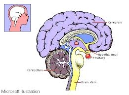 Pineal & pituitary glands. http://www.antidepressantsfacts.com/pineal-pituitary.htm