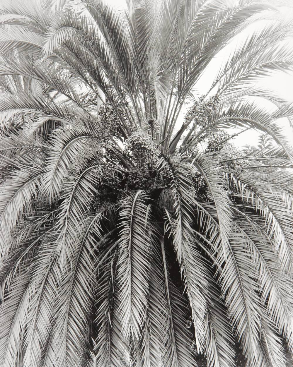 Barcelona Palm (Spain)