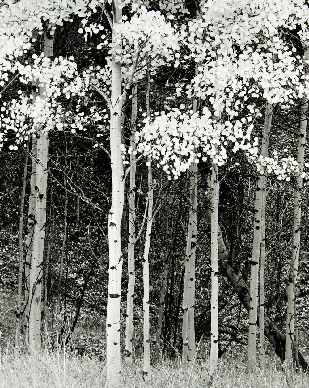 Aspen on Drew Hill Road  (Colorado)