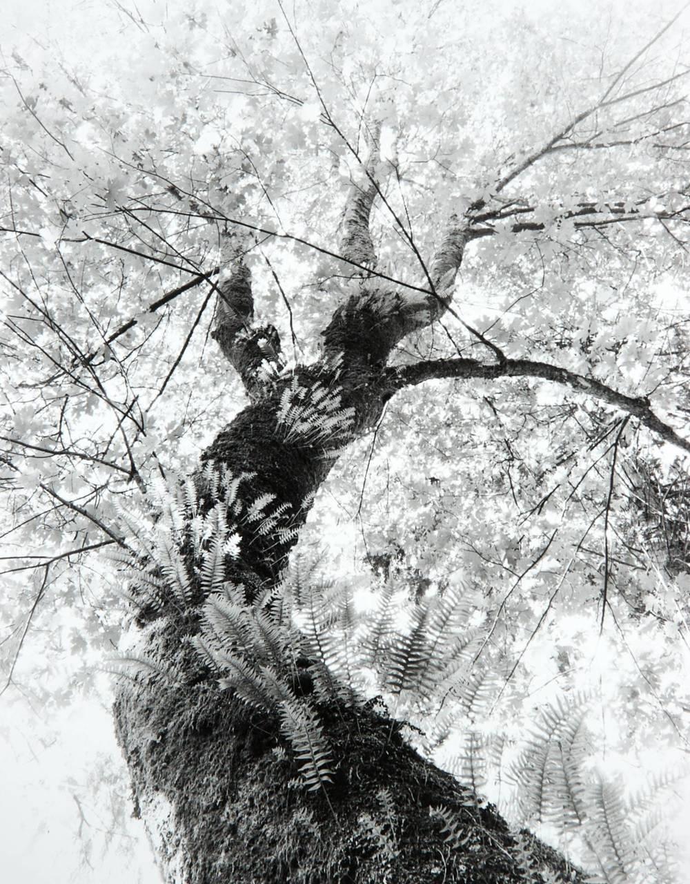 Stanley Park Tree (Vancouver, British Columbia)
