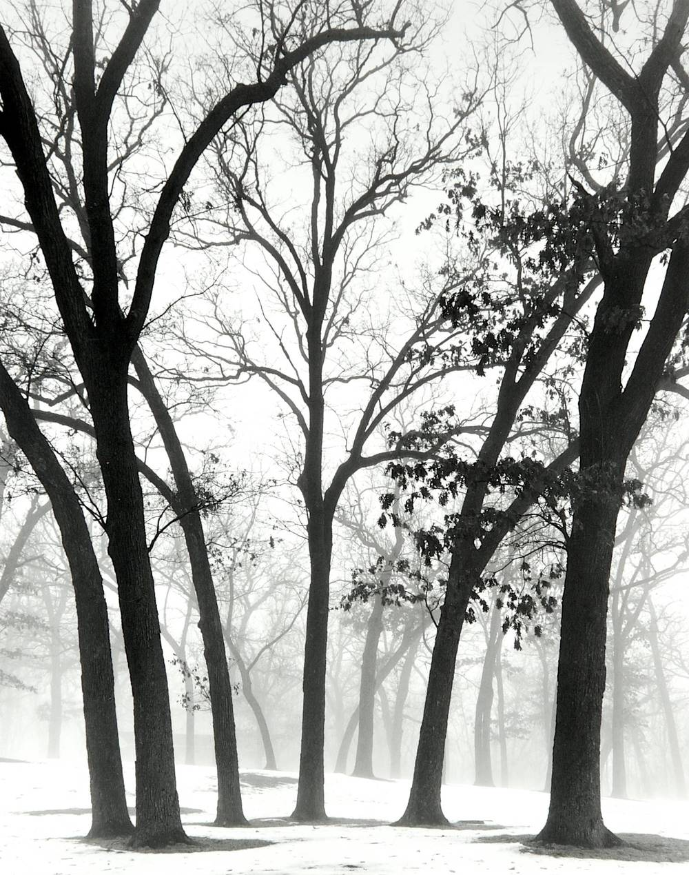 Trees in Fog (Green Lake, Wisconsin)