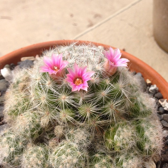 One of the best parts of spring - my cacti start blooming 🌸🌵 #cacti #nerd