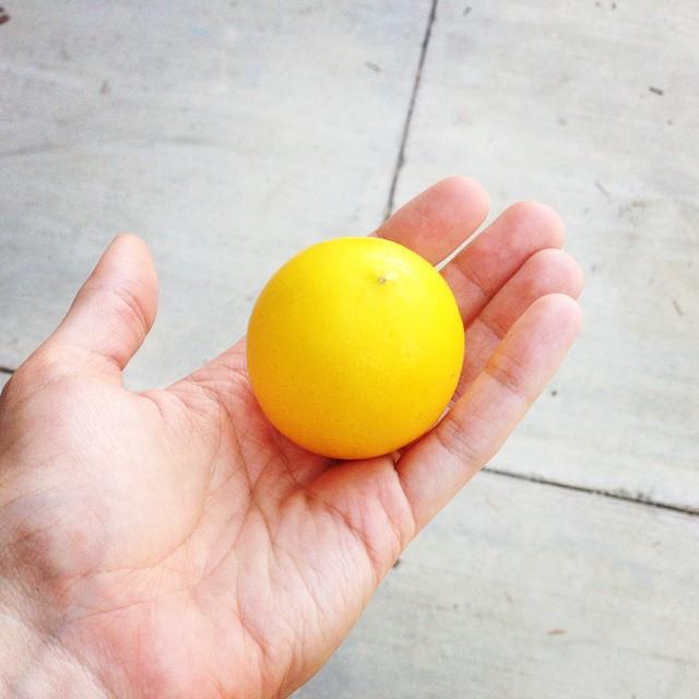 The first lemon from our little Meyer lemon tree! 🍋 #lemon #LA #summery