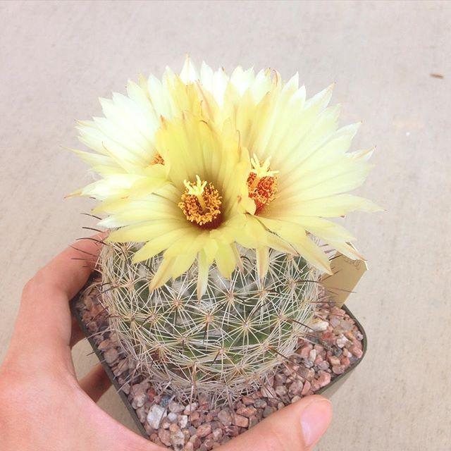 Who says cactuses aren't pretty? #cactus #cactusnerd #flowers #Coryphantha #LA