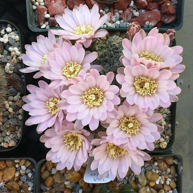 My Gymnocalycium bruchii put on a beautiful show this year 🌸 #cactus #gymnocalycium #cactusnerd #flowers #spring
