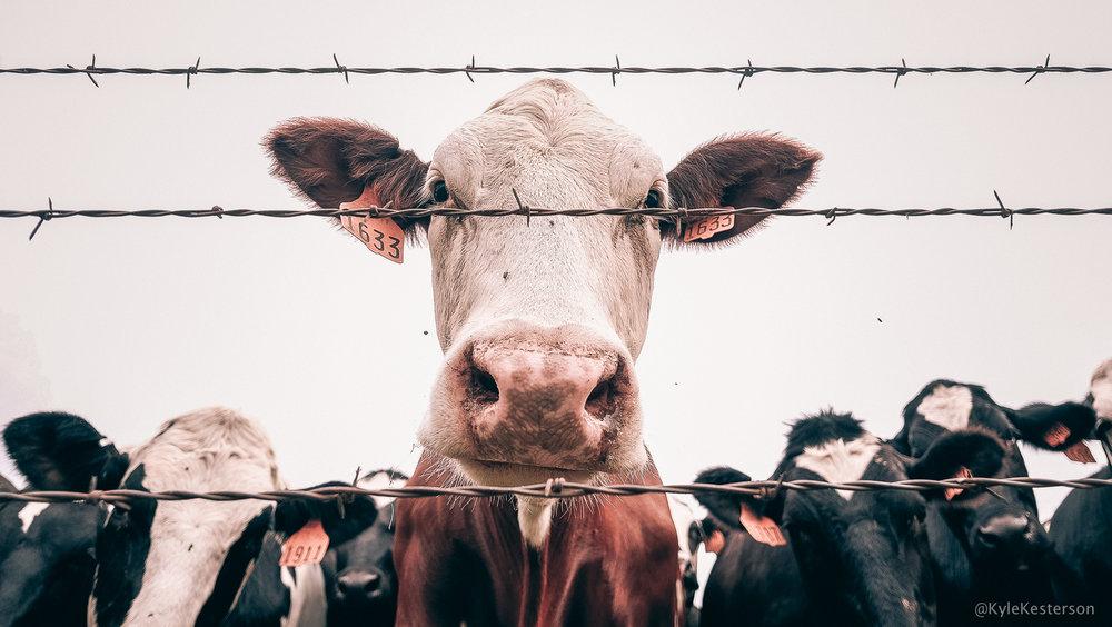 30 Day Challenge: Befriend Cows — Kyle Kesterson