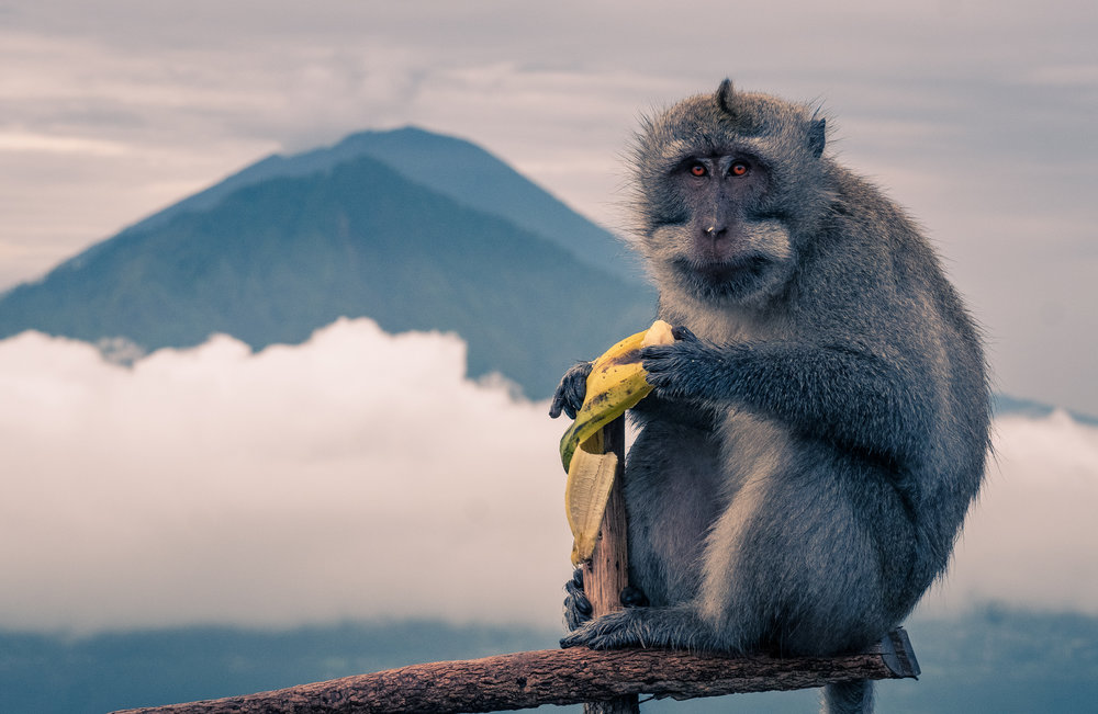 Sunrise breakfast on Mt. Batur with a Gray Macaque monkey