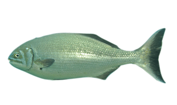 The silver drummer Kyphosus sydneyanus is found in the south Pacific and feeds exclusively on macroalgae.