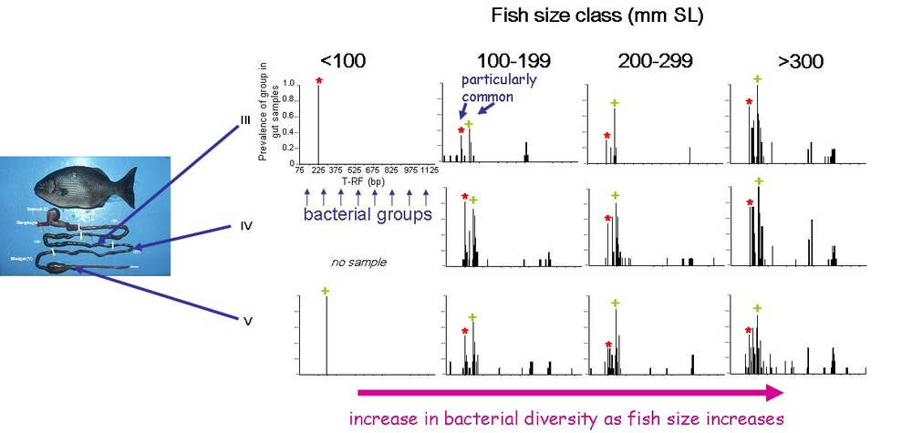 Changes in bacterial diversity in different sections of the gut and at different ages.