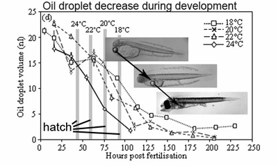 Effect of temperature on oil droplet volume during egg and early larval development of yellowtail kingfish.