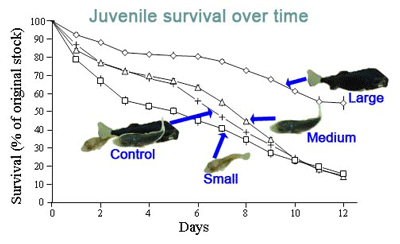 Yellowtail-kingfish-juvenile-survival.png