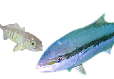 Like most marine fish, yellowtail kingfish have a long way to grow on their own. A 0.0003kg juvenile and 16 kg adult.
