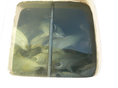 Juvenile yellowtail kingfish in the  NIWA  live fish transporter