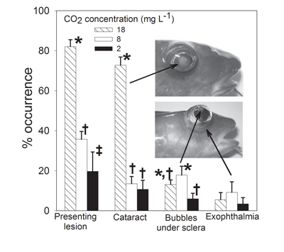 Juvenile Atlantic cod reared at 18 mg/L CO2 had a high incidence of cataracts.
