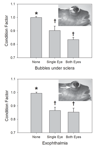 Juvenile Atlantic cod with bubbles under the sclera or exophthalmia ('pop eye') had poorer condition.