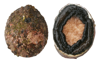 Shell forming organisms such as these abalone are sensitive to the acidification resulting from respired CO2 that accumulates in recirculating aquaculture systems.