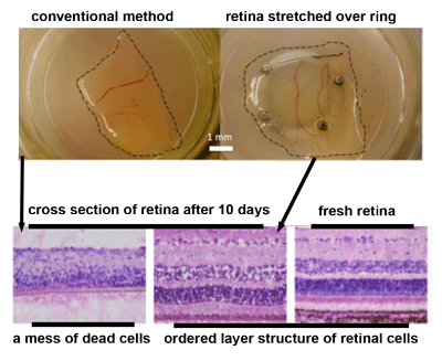 We found that providing mechanical stretch to pig retina significantly improved the viability of the tissue for in vitro culture (published here).  This knowledge helped us figure out methods to keep cavefish eyes in a good state for metabolic rate measurements.