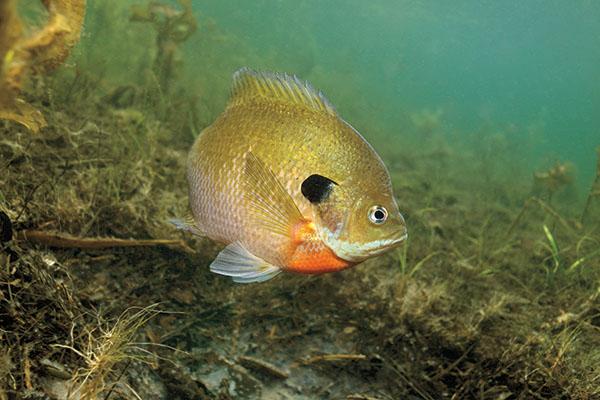 Bluegill Underwater