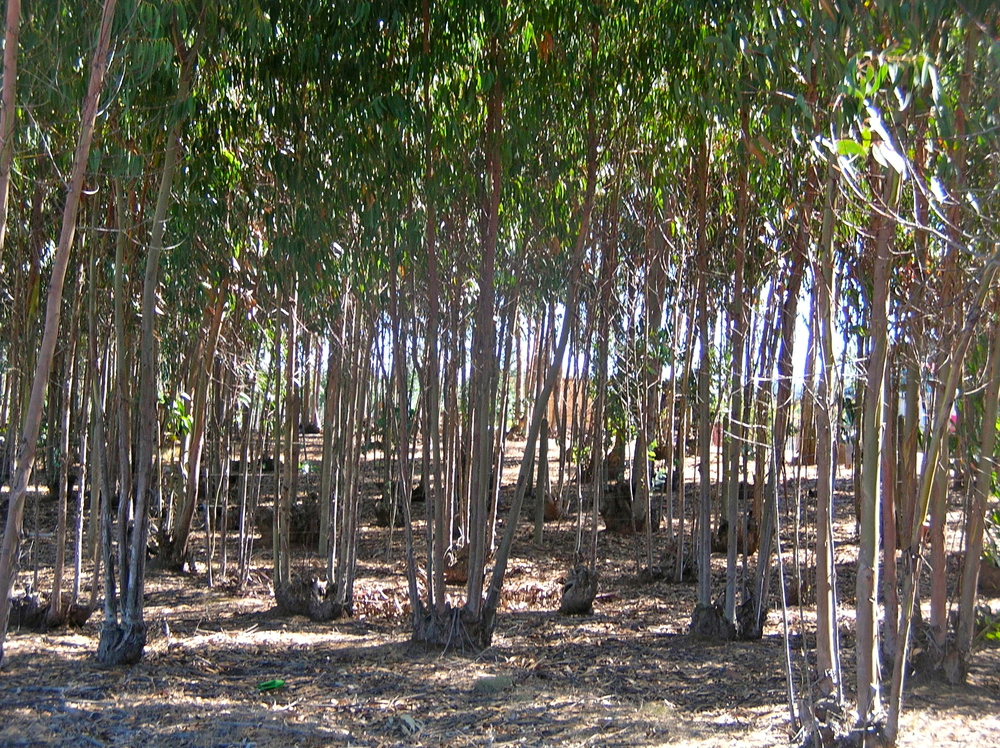 Woodlots of ecologically adapted trees are coppiced for poles, which are in demand for construction inHaiti. Poles are cut annually without killing the trees and provide dependable farm income and reforest denuded land. Woodlots are a good member of a farm's crop 'family', because they do not require the same labor demand of other crops like vegetables, and serve as windbreaks. See photos of woodlot forestry