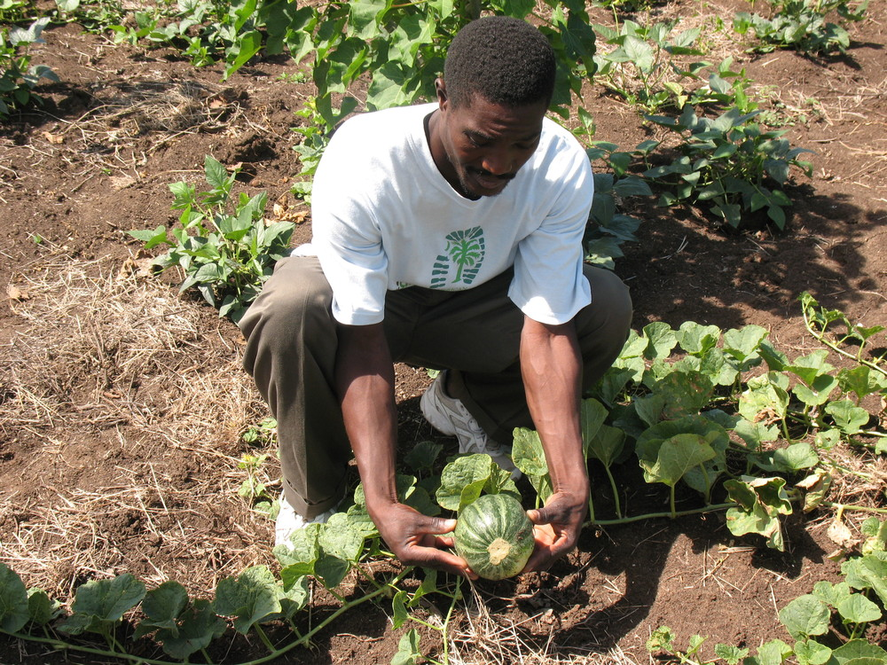 Vegetable gardens are a traditional part of Haiti's countryside, but in the dry northeast of Haiti where they depend on erratic rainfall, they are a gamble - too often a family sees theirvegetables wither and die when expected rains don't come.  JP helps families hedge their bets with intensive gardening, small wells, soil moisture conservation, companion planting, inter-cropping and windbreaks.   Photos of agriculture and vegetables