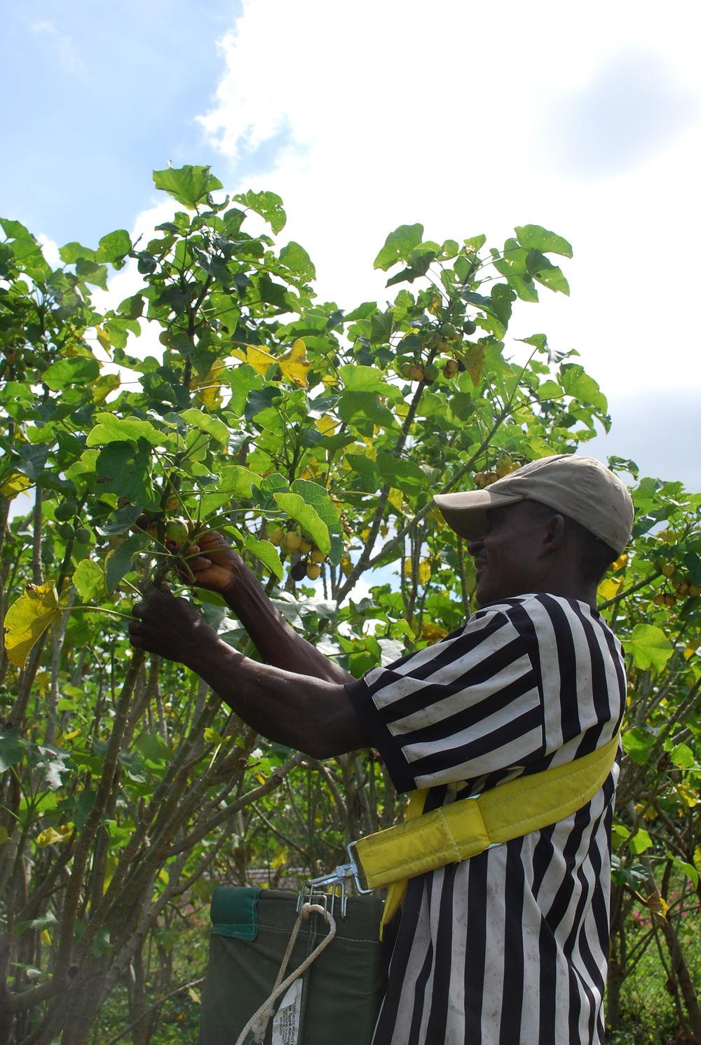 Harvesting Jatrofa