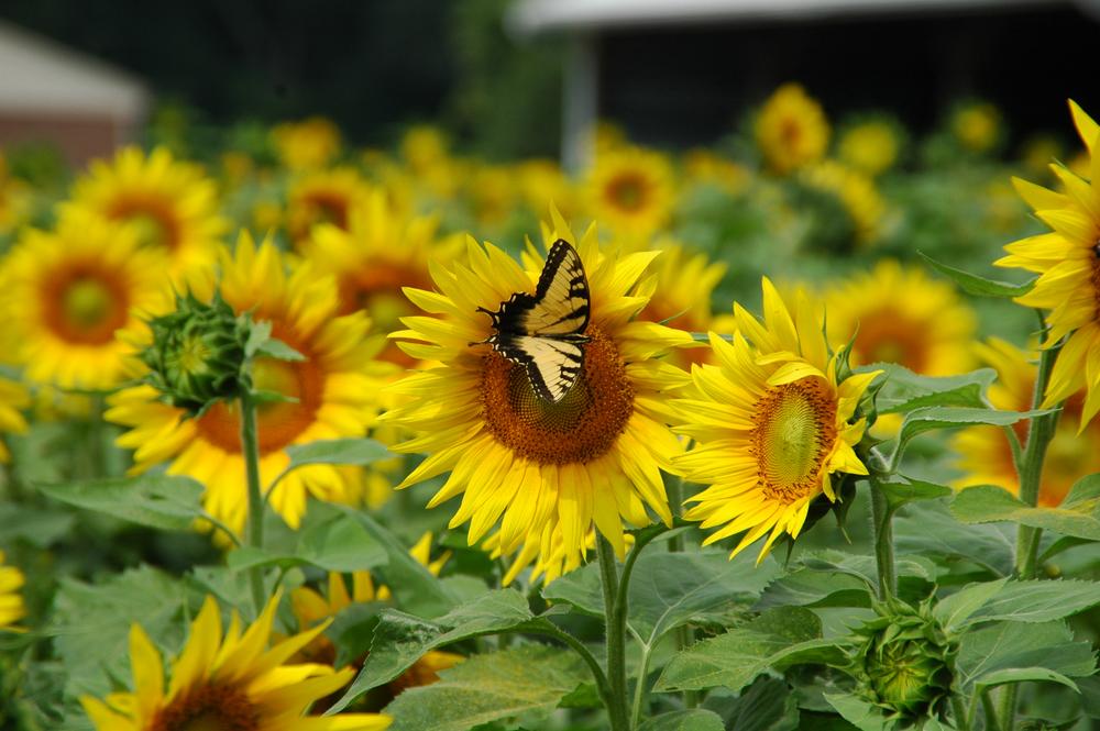 tigerswallowtail.png