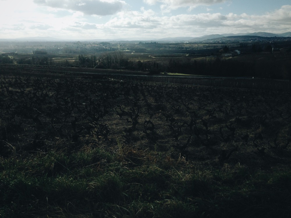 Loire Valley vines