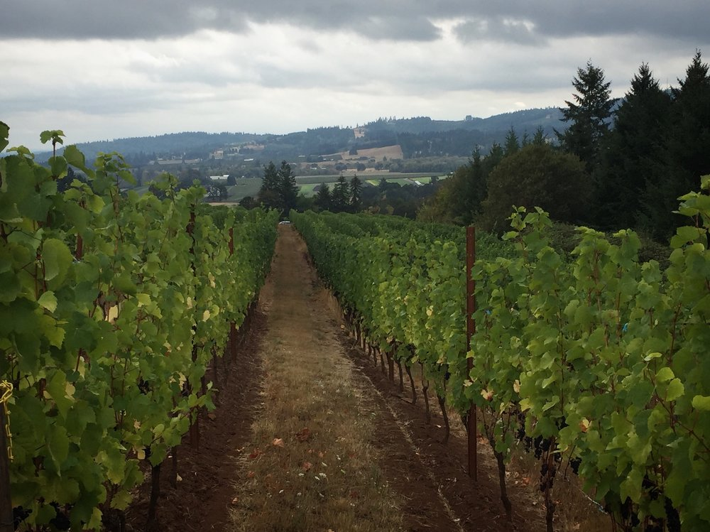 Rainy day collecting vineyard samples. Here's Lia's vineyard which y'all know from Patty Greene.