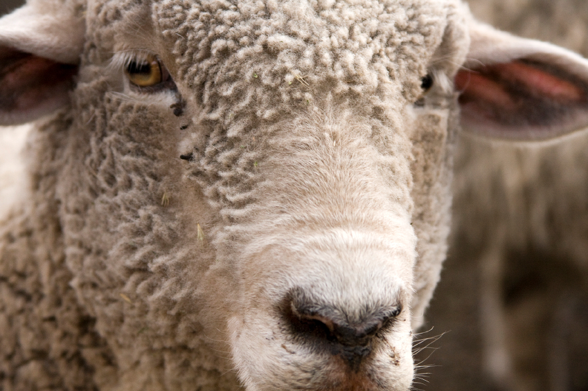 Merino sheep have been grazing on the high mountains of New Zealand for long enough to teach us all a thing or two about the importance of their coat.