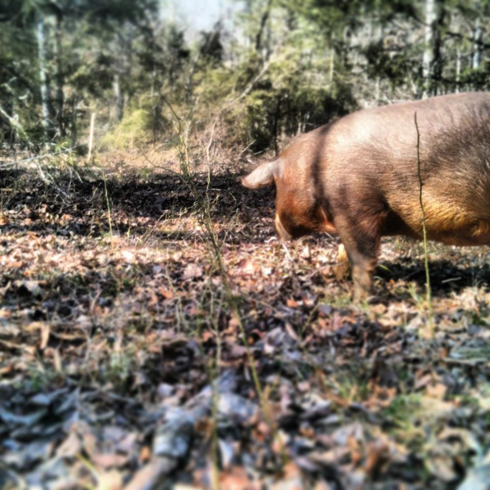 The pigs begin exploring